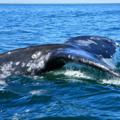 Free: Spring Whale Watching Week -- and chance to volunteer