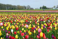 Varies/Learn More: Wooden Shoe Tulip Festival in Woodburn
