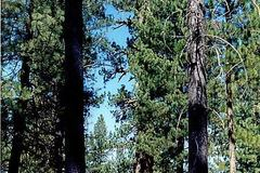 Free: A really BIG tree in Bend