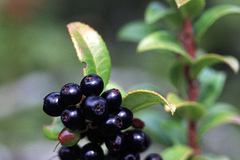 Varies: NATURE OUTING: HAWK MOUNTAIN HUCKLEBERRY HIKE