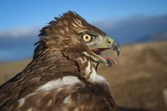 Booking (trips, etc.): High Desert Raptor Watch