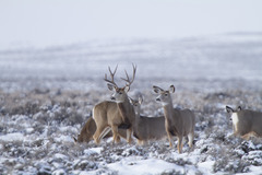 Booking (trips, etc.): Mule Deer Migration