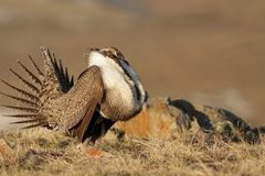 Free: Natural History Pub: Sage Grouse: Collaboration