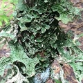 Free:  Leach Garden's  Mosses & Lichens  is FULL