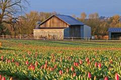 Varies/Learn More: Wooden Shoe Tulip Festival in Woodburn