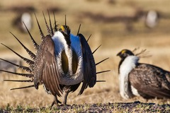 Free: Natural History Pub: Of Birds and Bugs: Sage Grouse and West