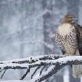 Selling: Winter Raptors