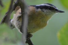Free: Birds of Leach Botanical Garden Early Morning Walk