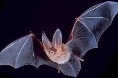 Selling: Bat Walk