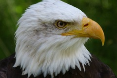 Free: Drop In Exploration Day: Bald Eagles