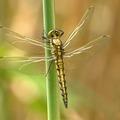 Free: Puddle Stompers Preschool Program: Dragonflies